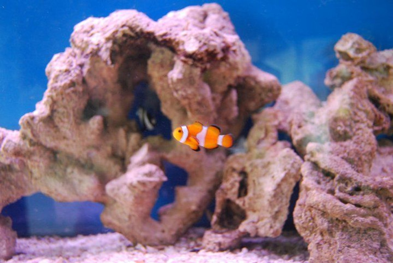saltwater fish - amphiprion ocellaris - ocellaris clownfish stocking in 55 gallons tank - Clownfish. Don't know the specific name.