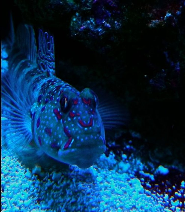 saltwater fish - cryptocentrus leptocephalus - pink spotted watchman goby stocking in 65 gallons tank - Pink spot shrimp goby