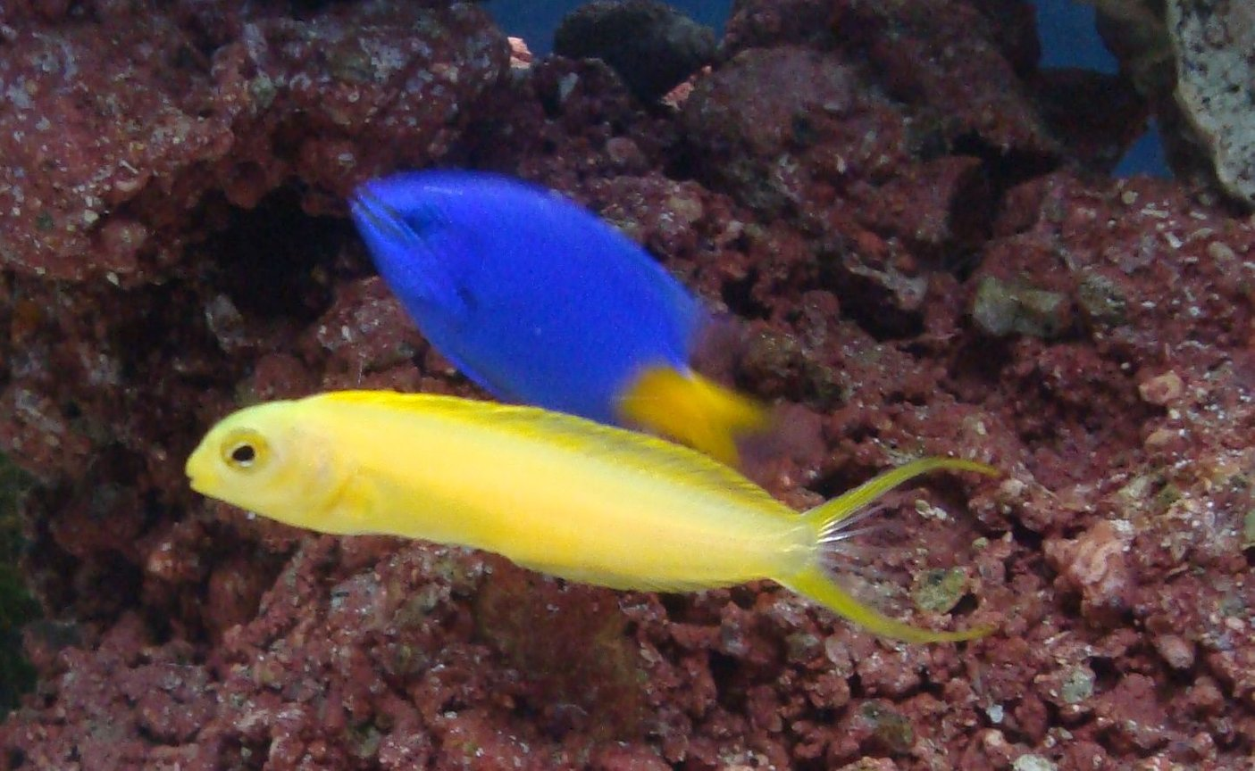 saltwater fish - meiacanthus oualanensis - canary blenny stocking in 20 gallons tank - blenny with damsel