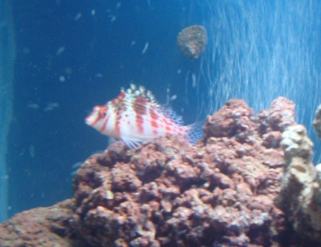saltwater fish - cirrhitichthys falco - falco hawkfish stocking in 20 gallons tank - hawkfish