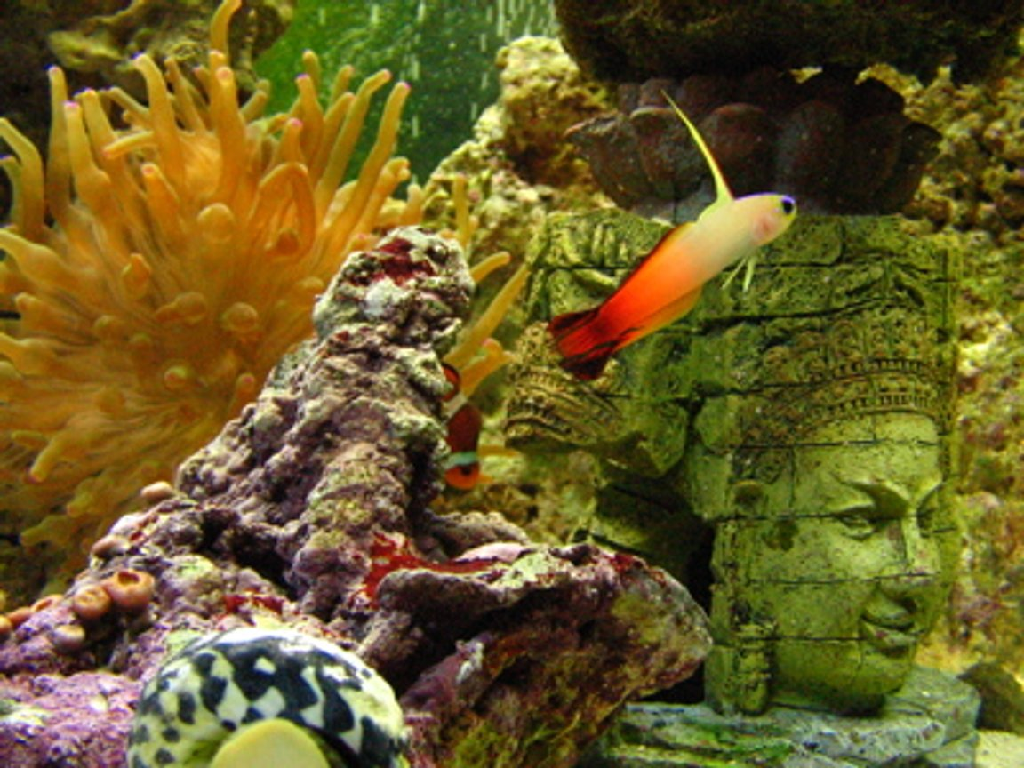 saltwater fish - nemateleotris magnifica - firefish stocking in 46 gallons tank - Firefish