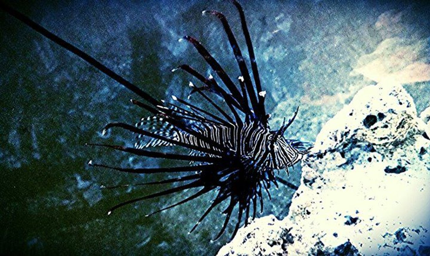 saltwater fish - pterois volitans - volitan lionfish, colored stocking in 100 gallons tank - Volitan lionfish