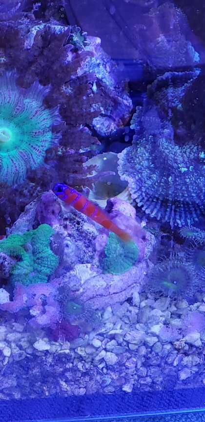 saltwater fish stocking in 8 gallons tank - Catalina goby