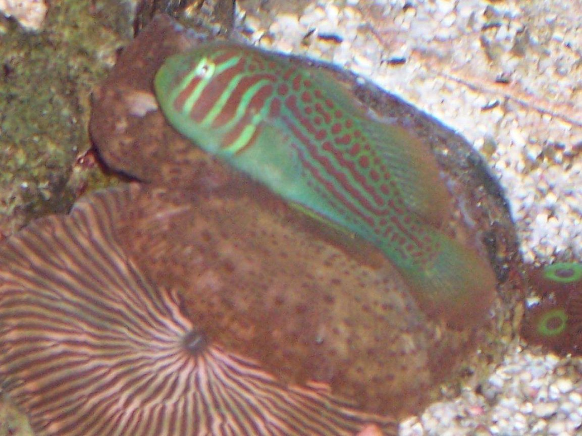 saltwater fish - gobiodon atrangulatus - clown goby, green stocking in 40 gallons tank - Green Goby resting on Mushrooms