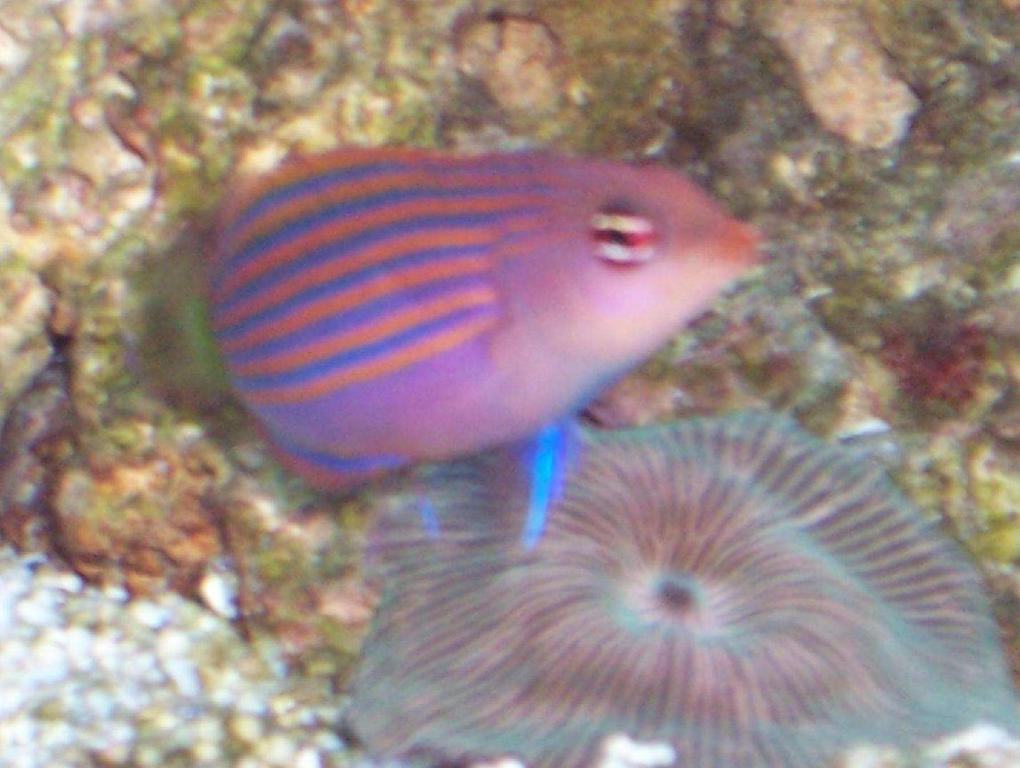 saltwater fish - pseudocheilinus hexataenia - six line wrasse stocking in 40 gallons tank - Sixline Wrasse