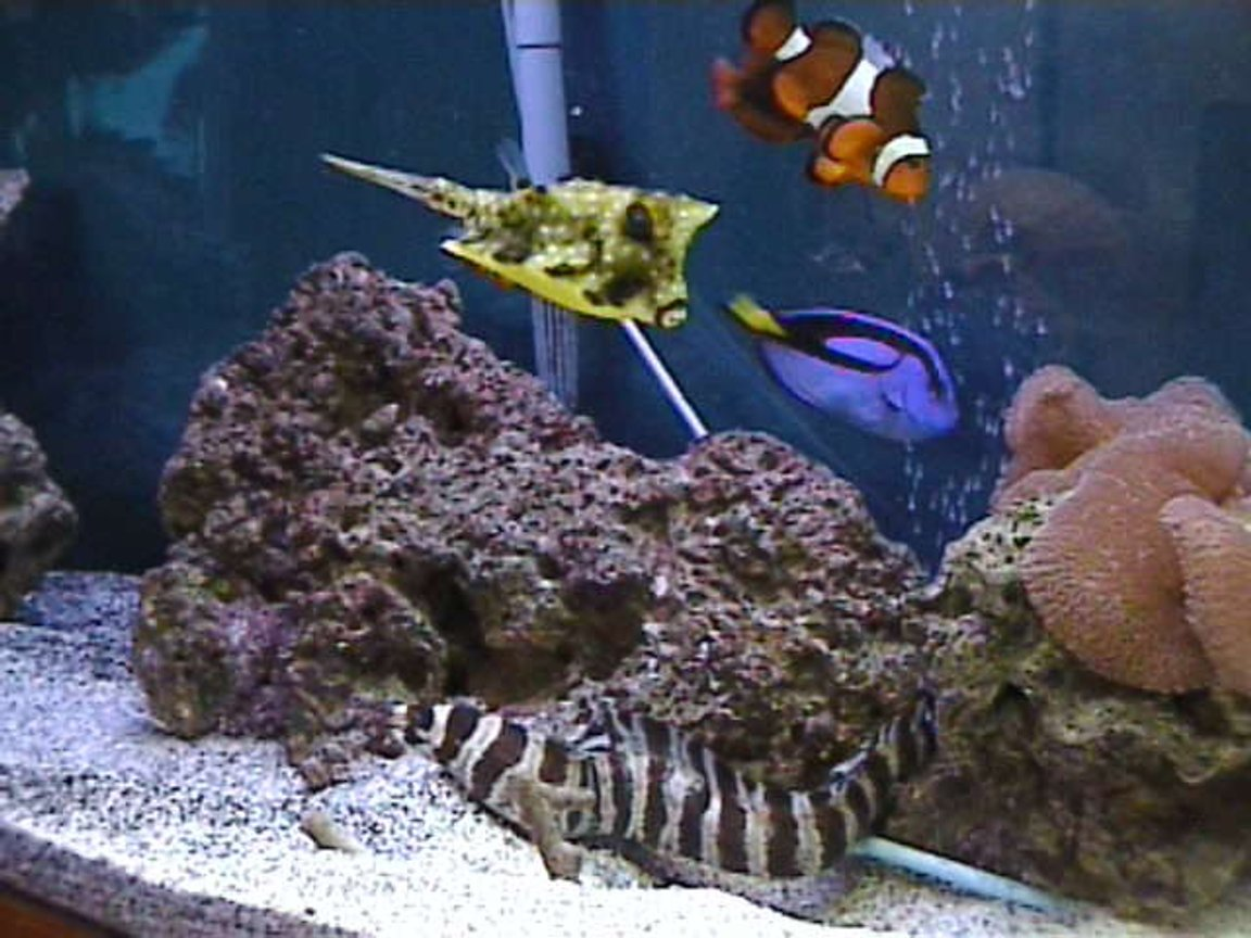 saltwater fish - lactoria cornuta - cowfish longhorn stocking in 125 gallons tank - one lil happy family