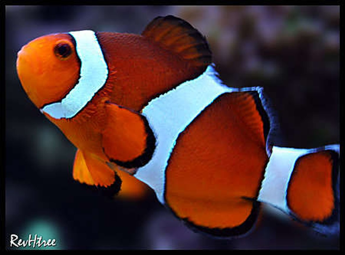 saltwater fish - amphiprion ocellaris - ocellaris clownfish stocking in 125 gallons tank - Clownfish