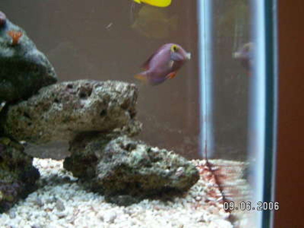 saltwater fish - ctenochaetus strigosus - kole yellow eye tang stocking in 37 gallons tank - kole tang