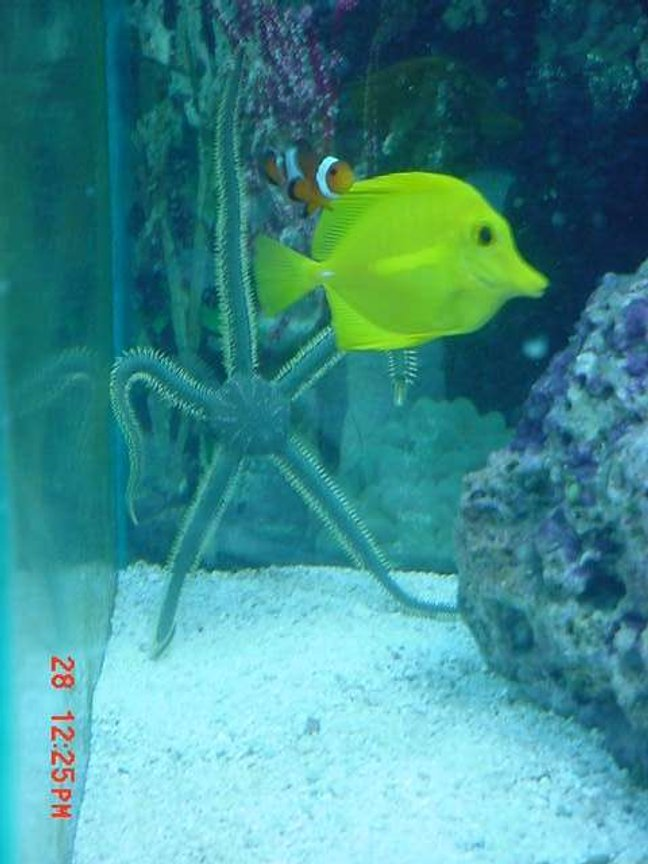 saltwater fish - zebrasoma flavescens - yellow tang - hawaii stocking in 125 gallons tank - A COOL PIC OF SOME FISH IN MY TANK