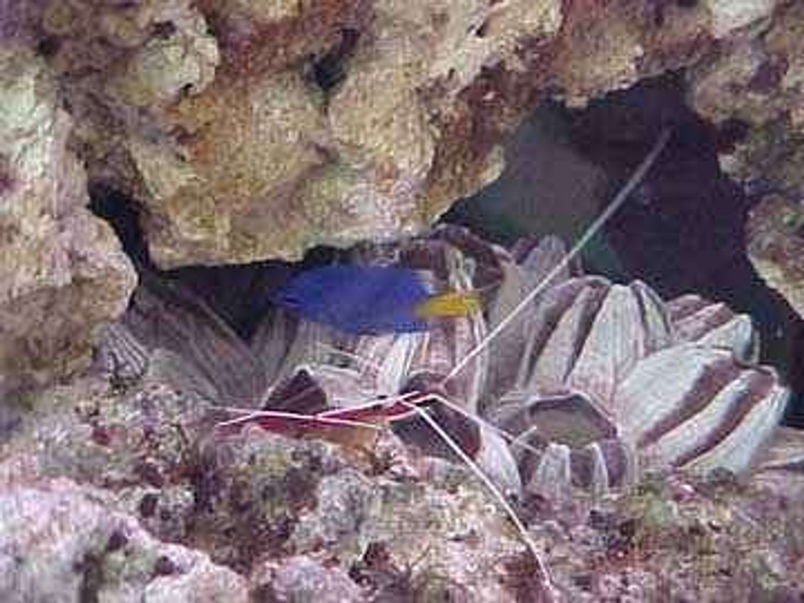 saltwater fish - chrysiptera parasema - yellowtail damselfish - damsel and peppermint shrimp