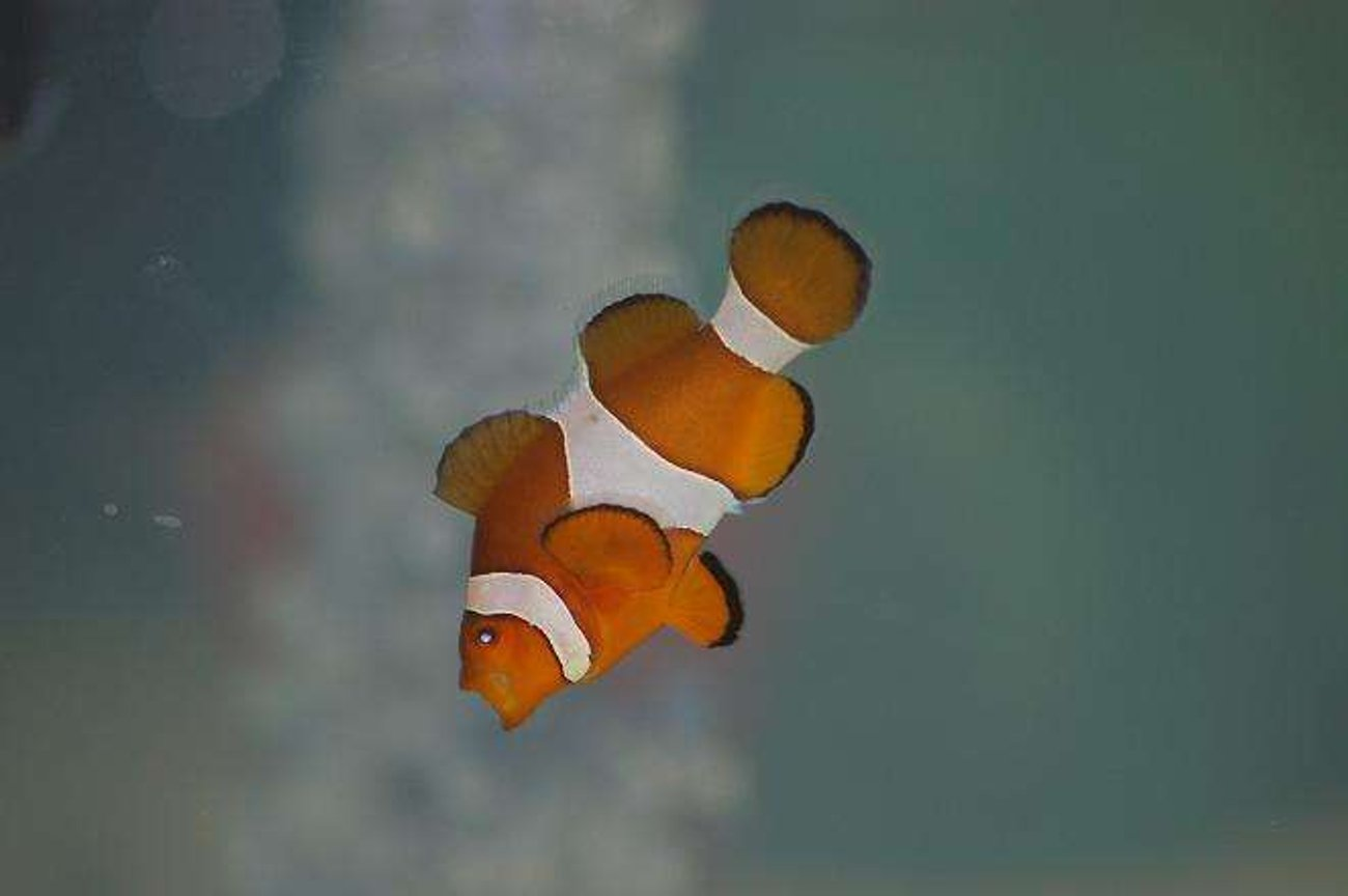 saltwater fish - amphiprion percula - true percula clownfish stocking in 55 gallons tank - My Nemo Yawning