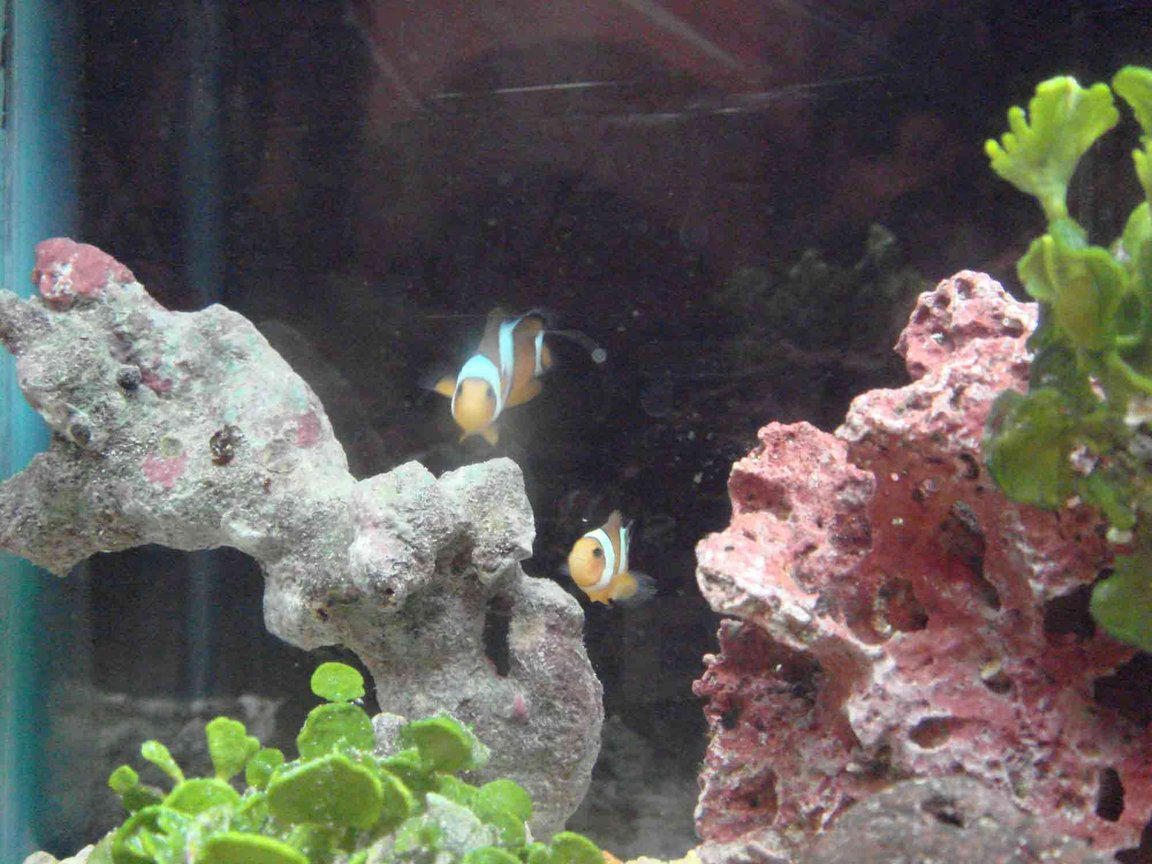 saltwater fish - amphiprion percula - true percula clownfish stocking in 2 gallons tank - trying to figure out new camera... false percs...