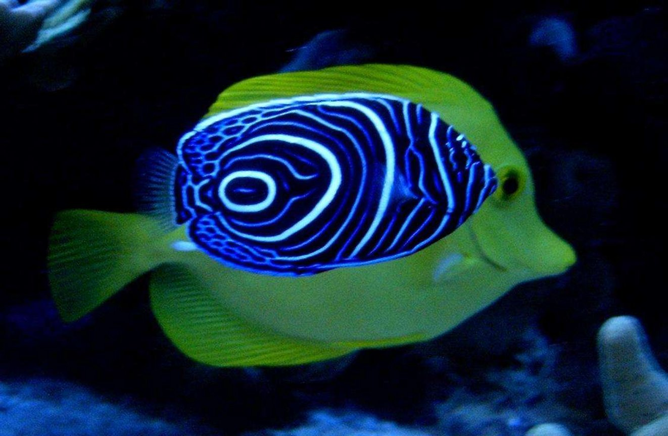 saltwater fish - pomacanthus imperator - imperator angelfish stocking in 160 gallons tank - A imperator in front of a flavescens !