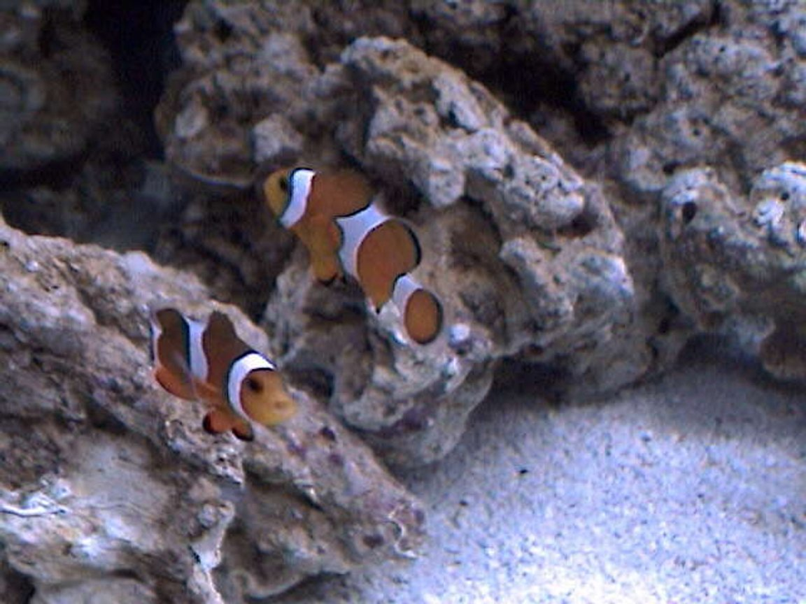 saltwater fish - amphiprion percula - true percula clownfish stocking in 27 gallons tank - They want to be in every pic!! Friendly little guys.