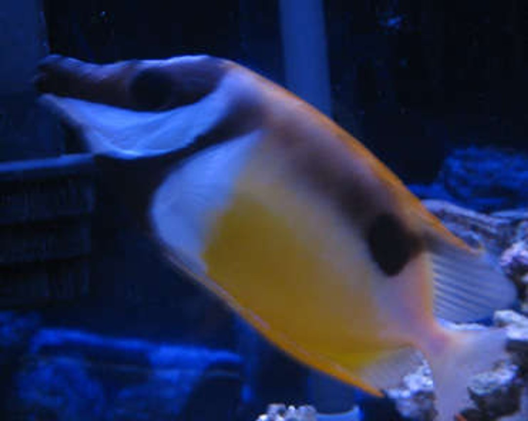 saltwater fish - siganus unimaculatus - one spot foxface stocking in 38 gallons tank - tank 1 foxface rabbitfish