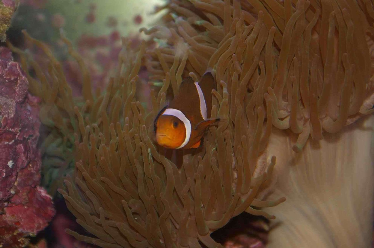 saltwater fish - amphiprion percula - true percula clownfish stocking in 22 gallons tank - Clown Fish