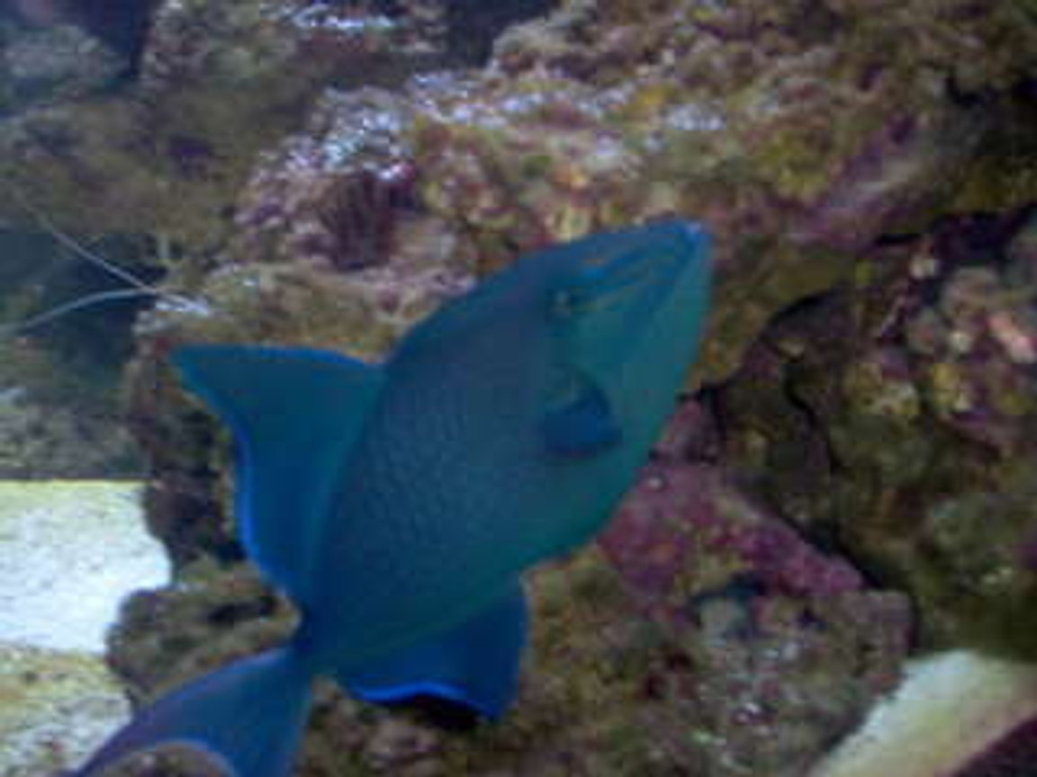 saltwater fish - odonus niger - niger triggerfish stocking in 75 gallons tank - My Niger Trigger