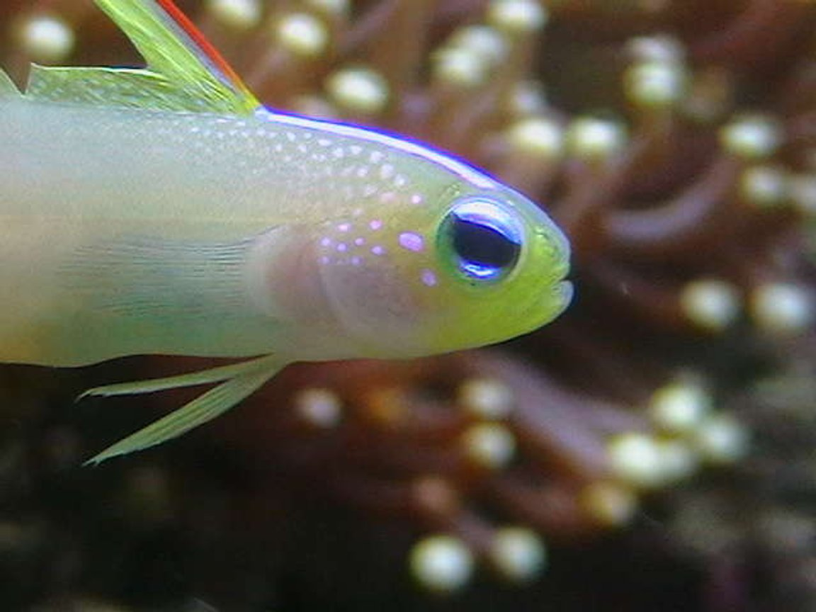 saltwater fish - nemateleotris magnifica - firefish stocking in 25 gallons tank - Firegoby.