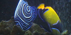Majestic and Emperor Angelfish