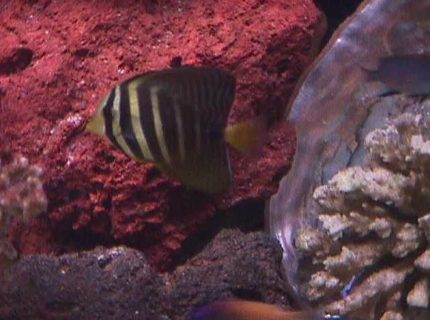 saltwater fish - zebrasoma veliferum - sailfin tang - I have a 120 gallon semi reef tank as my hobby for about 3.5 years.