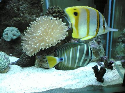 this is a close up of my sailfin tang with the copper banded butterfly fish my plate corol is in the back ground