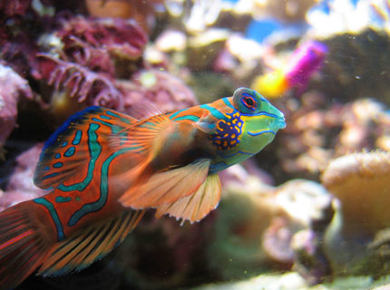 saltwater fish - synchiropus splendidus - green mandarin stocking in 100 gallons tank - Synchiropus Splendidus