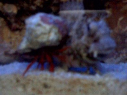 saltwater fish - salarias fasciatus - sailfin/algae blenny stocking in 24 gallons tank - my hermit crab head butting my lawnmower blennie...the lawnmower blennie was in the way so the little crab lifted his shell and rammed it over and over but of course, the lawnmower still blocked the crabs path...it was an amazing fight...