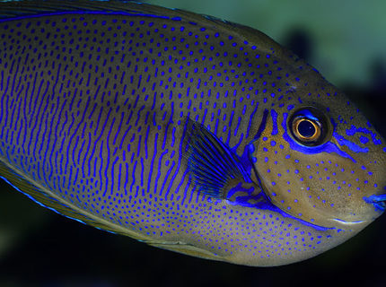 Rated #8: Saltwater Fish - Naso Vlamingii - Vlamingii Tang Stocking In 210 Gallons Tank - Vlamingi Tang