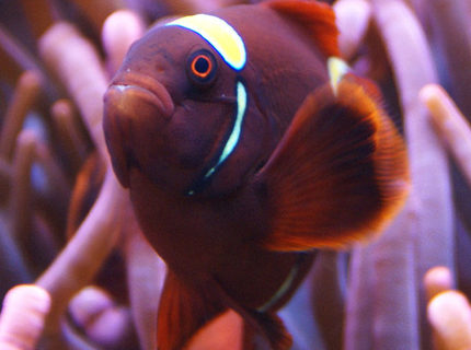 Rated #1: Saltwater Fish - Premnas Biaculeatus - Yellowstripe Maroon Clownfish Stocking In 65 Gallons Tank - Gold Stripe Maroon