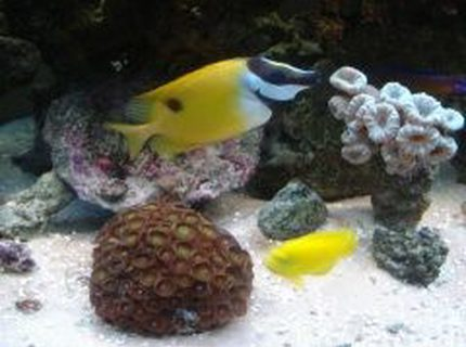 saltwater fish - siganus unimaculatus - one spot foxface stocking in 46 gallons tank - Fox face, angel and corals