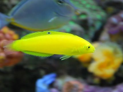 Almost 2 years old now Yellow corise wrasse  IF YOU DO NOT LIKE OUR PICTURES THEN YOU DO NOT HAVE TO LOOK AT THEM BUT VOTING 0 IS VERY NEGATIVE ON YOUR PART PLEASE JUST MOVE ON  THANKS!!!!