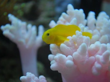 saltwater fish - gobiodon okinawae - clown goby, yellow stocking in 60 gallons tank - Yellow goby, named Mini cooper chilling 