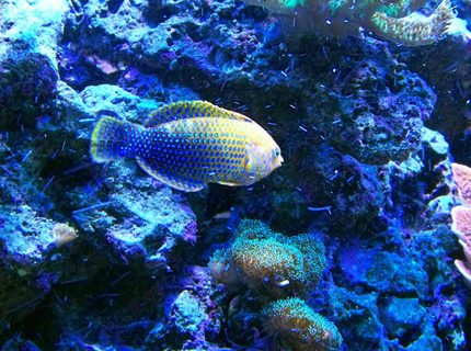 saltwater fish - macropharyngodon meleagris - leopard wrasse stocking in 75 gallons tank - Potter's Leopard Wrasse