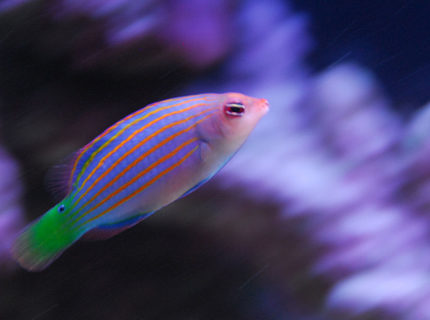 saltwater fish - pseudocheilinus hexataenia - six line wrasse stocking in 20 gallons tank - Six line wrasse.
