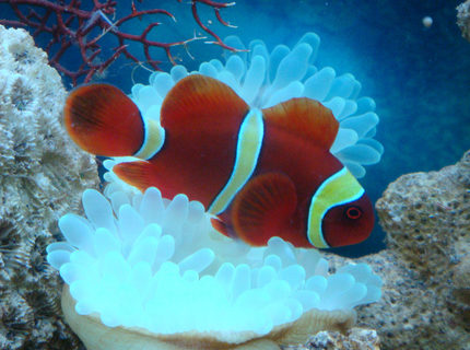 "saltwater fish - premnas biaculeatus - yellowstripe maroon clownfish stocking in 8 gallons tank - Gold Striped Clown Fish nick named ""Momo"""