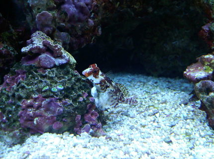 saltwater fish - synchiropus ocellatus - scooter blenny stocking in 120 gallons tank - red scooter blennie and zoos