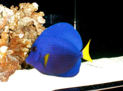 Rated #6: Saltwater Fish - Zebrasoma Xanthurum - Purple Tang Stocking In 50 Gallons Tank - Purple Tang