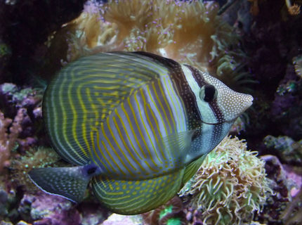 Rated #10: Saltwater Fish - Zebrasoma Desjardini - Sailfin Tang, Desjardini Stocking In 130 Gallons Tank - Nice Sailfin Tang :)