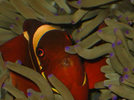saltwater fish - premnas biaculeatus - maroon clownfish stocking in 90 gallons tank - Maroon in a Magnificent Anemone