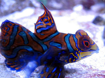 saltwater fish - synchiropus splendidus - green mandarin stocking in 44 gallons tank - Mandarin