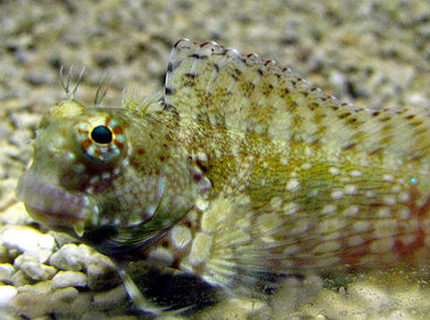 saltwater fish - salarias fasciatus - sailfin/algae blenny stocking in 44 gallons tank - Lawnmower Blenny