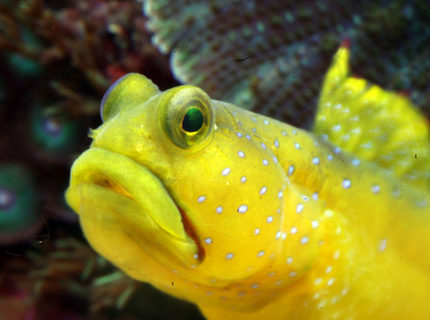 saltwater fish - cryptocentrus cinctus - yellow watchman goby stocking in 210 gallons tank - yellow Watchman Gobie