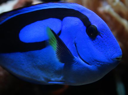 saltwater fish - paracanthurus hepatus - blue tang stocking in 75 gallons tank - New Blue Tang