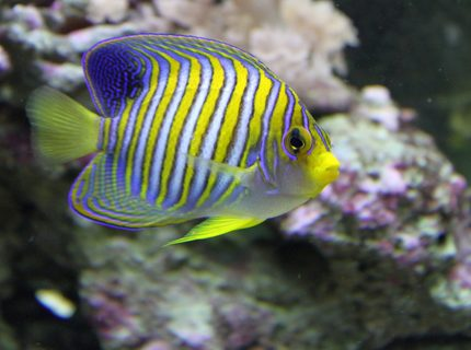 Rated #3: Saltwater Fish - Pygoplites Diacanthus - Regal Angelfish Stocking In 90 Gallons Tank - regal angelfish