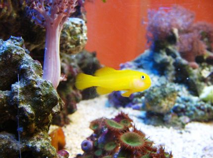 saltwater fish - gobiodon okinawae - clown goby, yellow stocking in 10 gallons tank - gobiodon okinawe, yellow clown goby