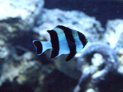 saltwater fish - dascyllus melanurus - four stripe damselfish stocking in 50 gallons tank - striped damsel
