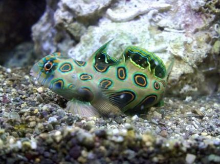 saltwater fish - synchiropus picturatus - spotted mandarin stocking in 75 gallons tank - target dragon