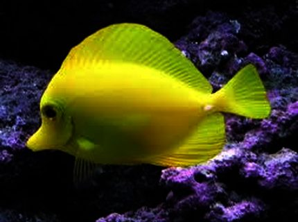 Rated #5: Saltwater Fish Stocking In 125 Gallons Tank - My Yellow Tang - Sunny