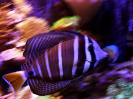 saltwater fish stocking in 90 gallons tank - Sailfin tang on a journey