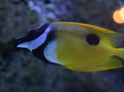 saltwater fish - siganus unimaculatus - one spot foxface stocking in 190 gallons tank - foxy leeann